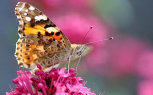 Butterflies: Painted Lady
