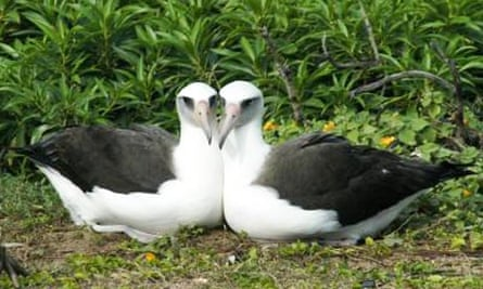 Same-sex pair of albatross