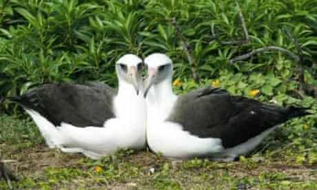 Same-sex pair of albatross