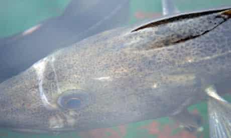 Cod Farming : Atlantic Cod (Gadus Morhua) in water.
