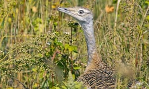 Wild Great Bustard chicks hatch