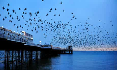 A murmuration of starlings over Brighton Pier at sunset