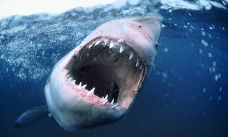 Threatening Great white shark bares it's teeth in the ocean.
