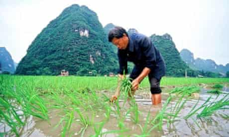 Ricefield in China