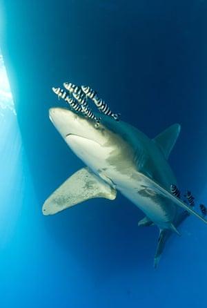 Sharks endangered: Oceanic white-tip shark, Carcharhinus longimanus