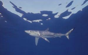 Sharks endangered: A blue shark, Prionace glauca, off California, USA, eastern Pacific Ocean.