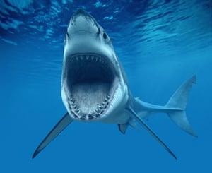 Sharks endangered : Great White Shark