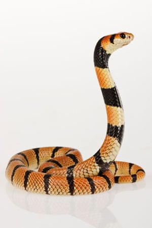 Student booty: African coral snake