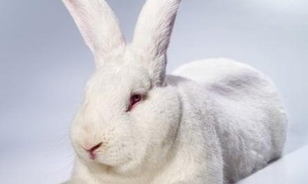A white rabbit