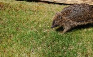 Garden wildlife 2009: Flickr competition Hedgehog