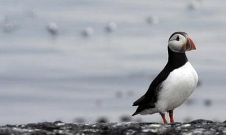 Puffin on Farne Island, Northumberland
