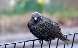 Big Nature Count: European Starling