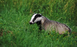 Big Nature Count: BADGER