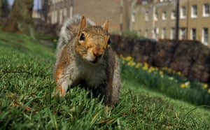 Big Nature Count: GREY SQUIRREL