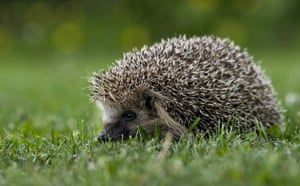 Big Nature Count: Hedgehog on green