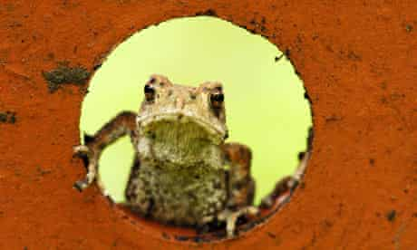 Big Nature Count: Common toad