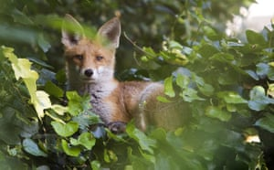 Big Nature Count: An urban fox
