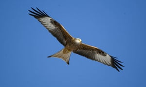 Wild Red Kites at Gigrin Farm, Wales