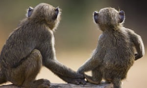 Young olive baboons holding hands