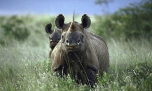 Female rhinoceros and her calf standing