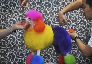 24hours in pictures: Stylists trim the hair of a poodle at a pet dogs service shop in Wuhan
