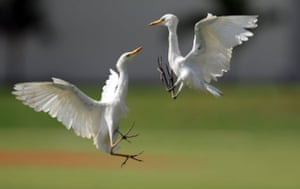 24hours in pictures: Two white heron fight on a cricket pitch