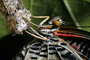 24hours in pictures: A newly emerged Leopard Lacewing butterfly dries its wings Singapore
