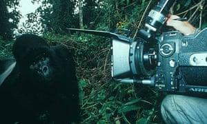 Montbiot Blog: TV Cameraman filming gorillas in the wild