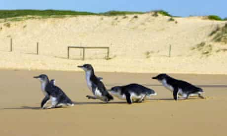 Four little penguins walk down towards ocean after being released at Sydneys North Curl Curl Beach