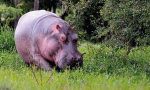 Pablo Escobar's hippopotamus