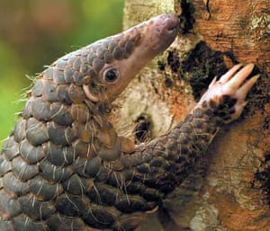 Week in wildlife: A Malaysan pangolin, also known as a scaly anteater, climbing a tree