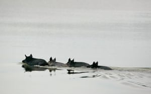Week in wildlife: Four wild hogs in the Merritt Island National Wildlife Refuge