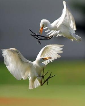 Week in wildlife: Two white herons fight