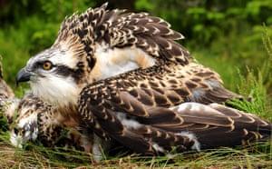 Week in wildlife: Osprey chicks in Northumberland