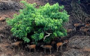 Week in wildlife: Sambers take shelter of trees at the Guwahati Zoological Park in Guwahati