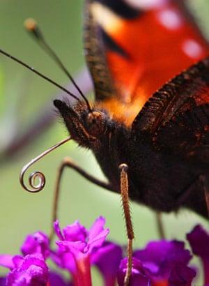 Week in wildlife: A Peacock butterfly (Inachis io) auf Nahrungssuche