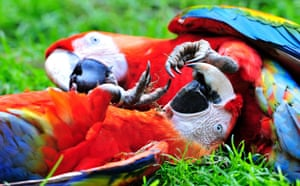 Week in wildlife: A macaw couple at the zoo in theGerman city of Muenster