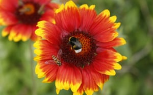 Week in wildlife: A bumble-bee and a wasp, seen on a flower in a garden