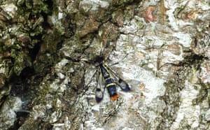 Week in Wildlife: Welsh Clearwing moth