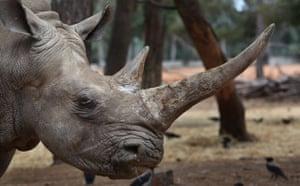 Week in Wildlife:  A white rhinoceros grazes  At Ramat Gan Zoo