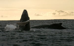 Week in Wildlife: A Humpback whale jumps out of the waters off Juanchaco, Colombia