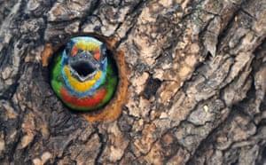 Week in Wildlife: Muller's barbet, one of Taiwan endemic species of bird