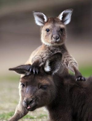 Week in Wildlife: baby kangaroo at the Ballarat Wildlife Park in Victoria, Australia