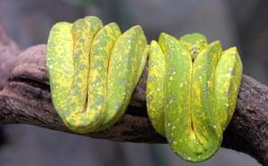 Week in Wildlife: Green Tree Python (Morelia viridis)