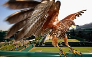 Week in Wildlife: Wimbledon: Rufus the resident Harris Hawk keeps the courts pigeon free