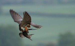Week in Wildlife: A hobby as it catches and kills a swift in mid air