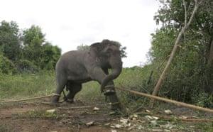 Week in Wildlife: A Sri Lankan wild elephant is seen tied to trees