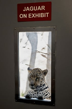 Week in Wildlife: A two-year-old jaguar, at the San Diego Zoo