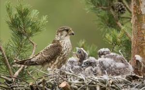 Week in Wildlife: Pigeon hawk feeds its chicks , Minsk