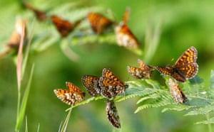 Week in Wildlife: Heath Fritillary butterflies